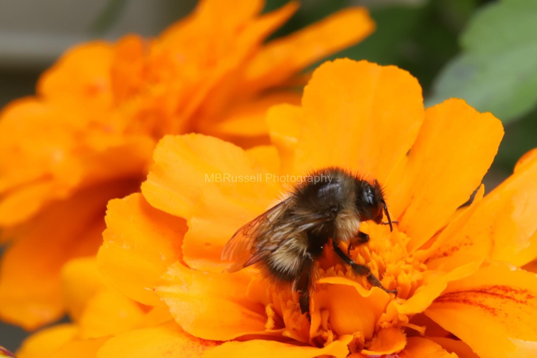 Marigold Bee, Skagway, Alaska